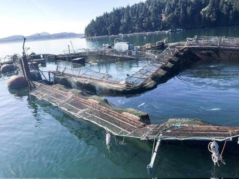 times colonist: salmon escape puget sound washington